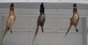Hanging pheasants in the late fall sometimes only requires some convenient nails under the eaves.